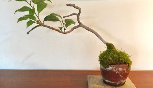 椿(相模侘助)の盆栽を植え替える