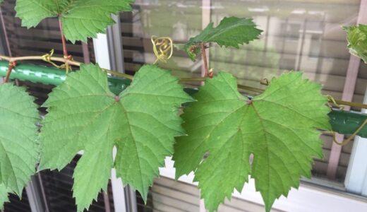 ぶどうを種から育てる育成記録〜その20