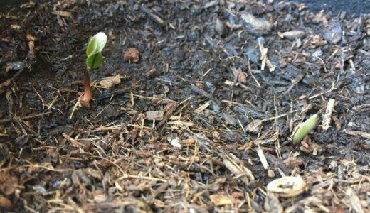 【ベランダ歳時記004】ハナミズキの芽が出る、そして豆梨の花が満開