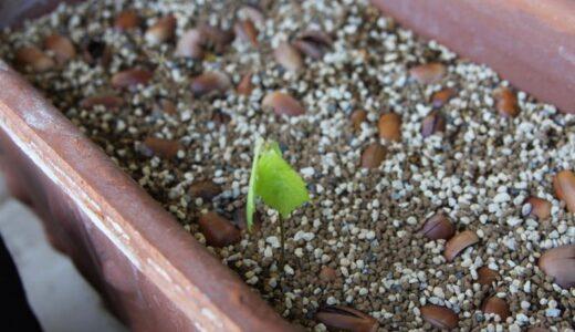 どんぐりを育ててみようベランダで【どんぐり栽培記録 09】