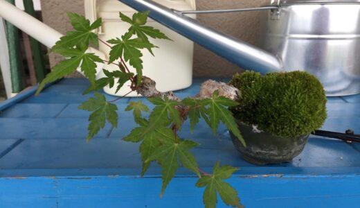 【ベランダ歳時記008】梅雨の晴れ間。豆梨、椿、やまもみじの剪定